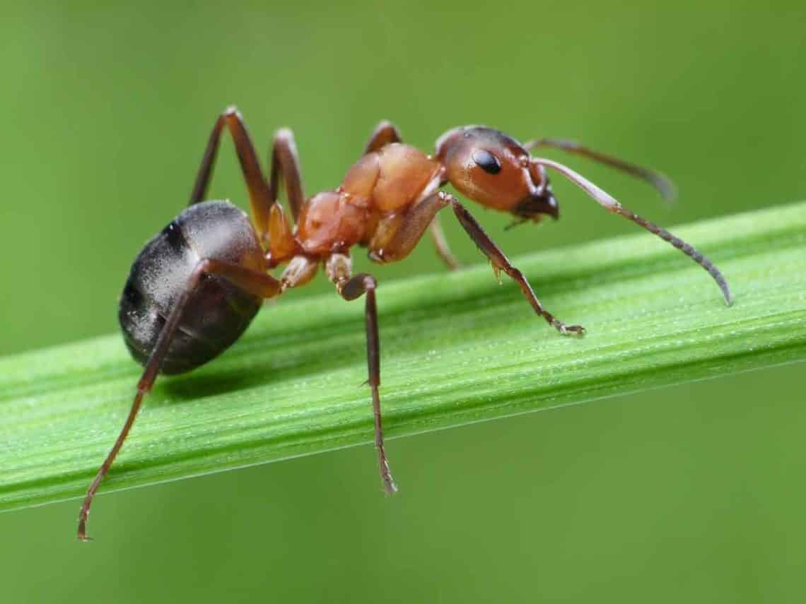 Los tipos de hormigas en México