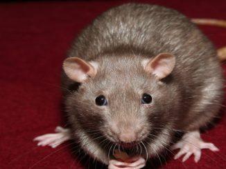 Qué come la rata doméstica