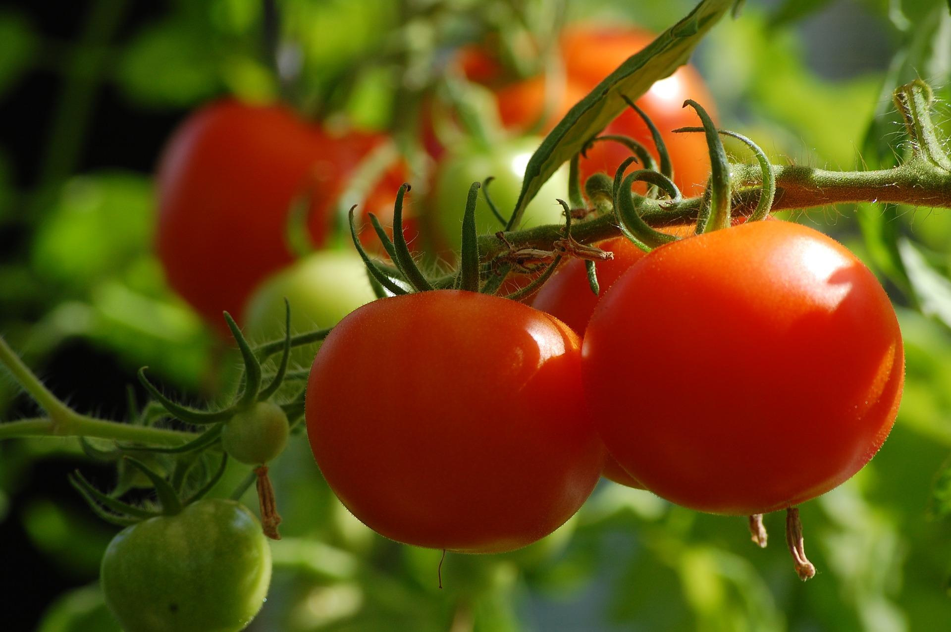 como combatir las plagas del tomate