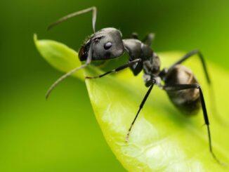 Que comen las hormigas negras