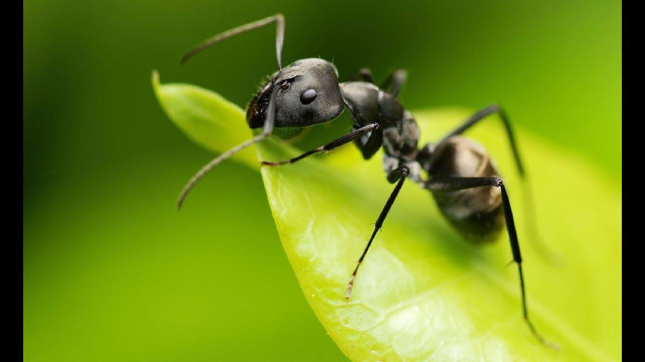 ¿Qué comen las hormigas negras?