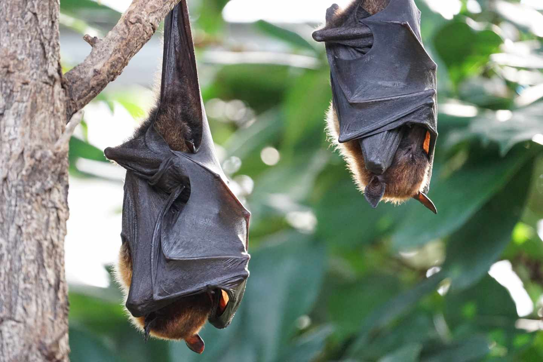 Fumigación contra murciélagos