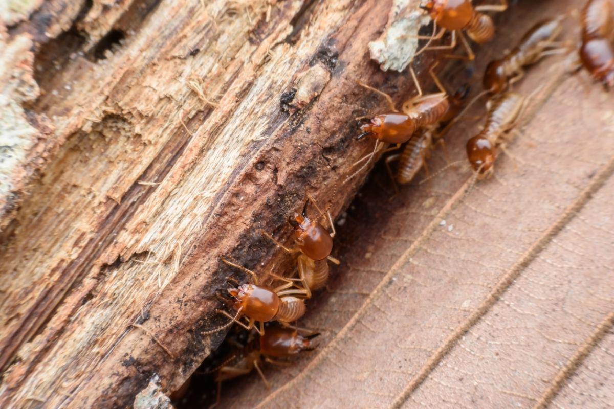 Fumigación contra termitas