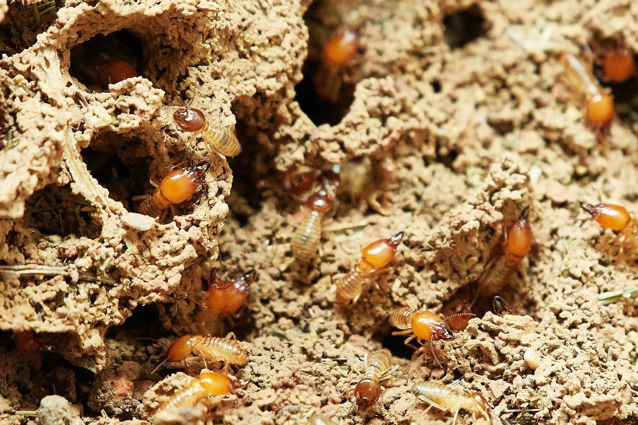 Cómo eliminar las termitas para siempre
