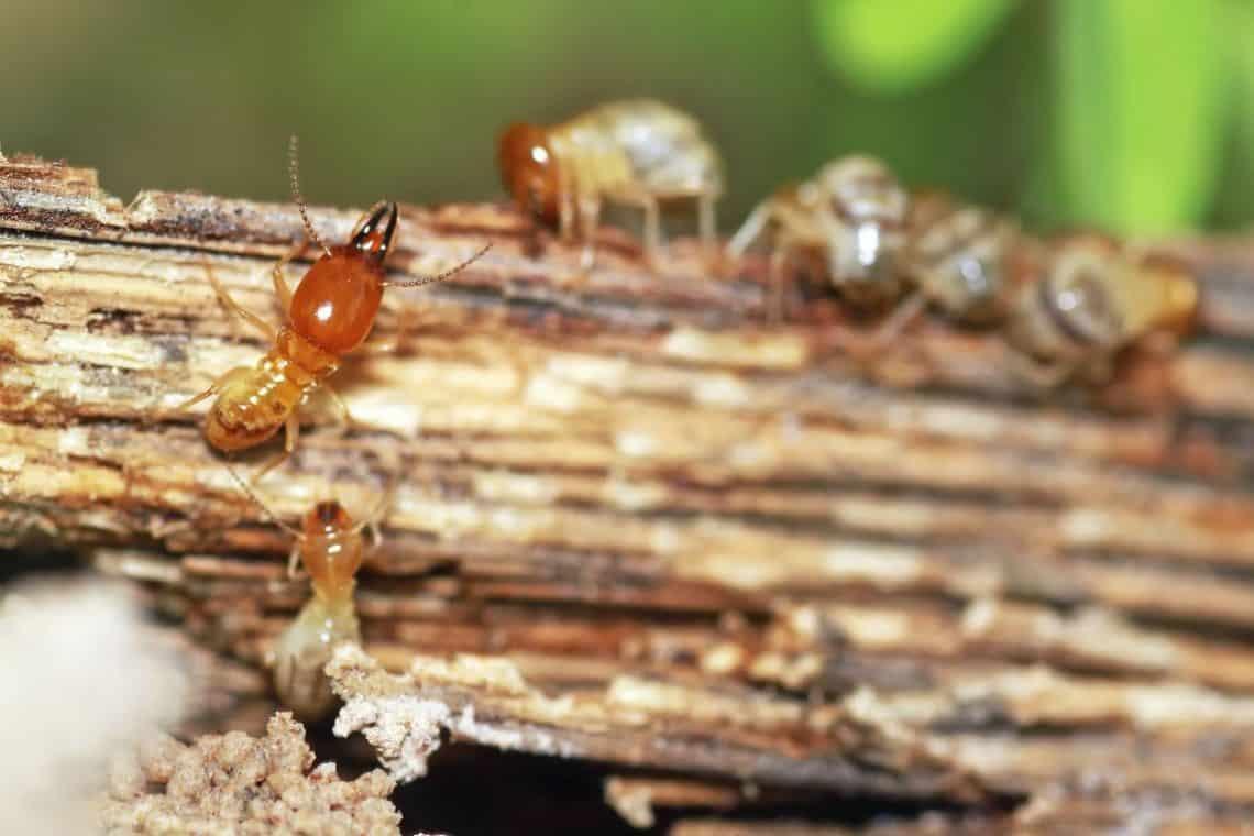 Cómo matar a las termitas de forma natural, 4 métodos eficaces para eliminarlas