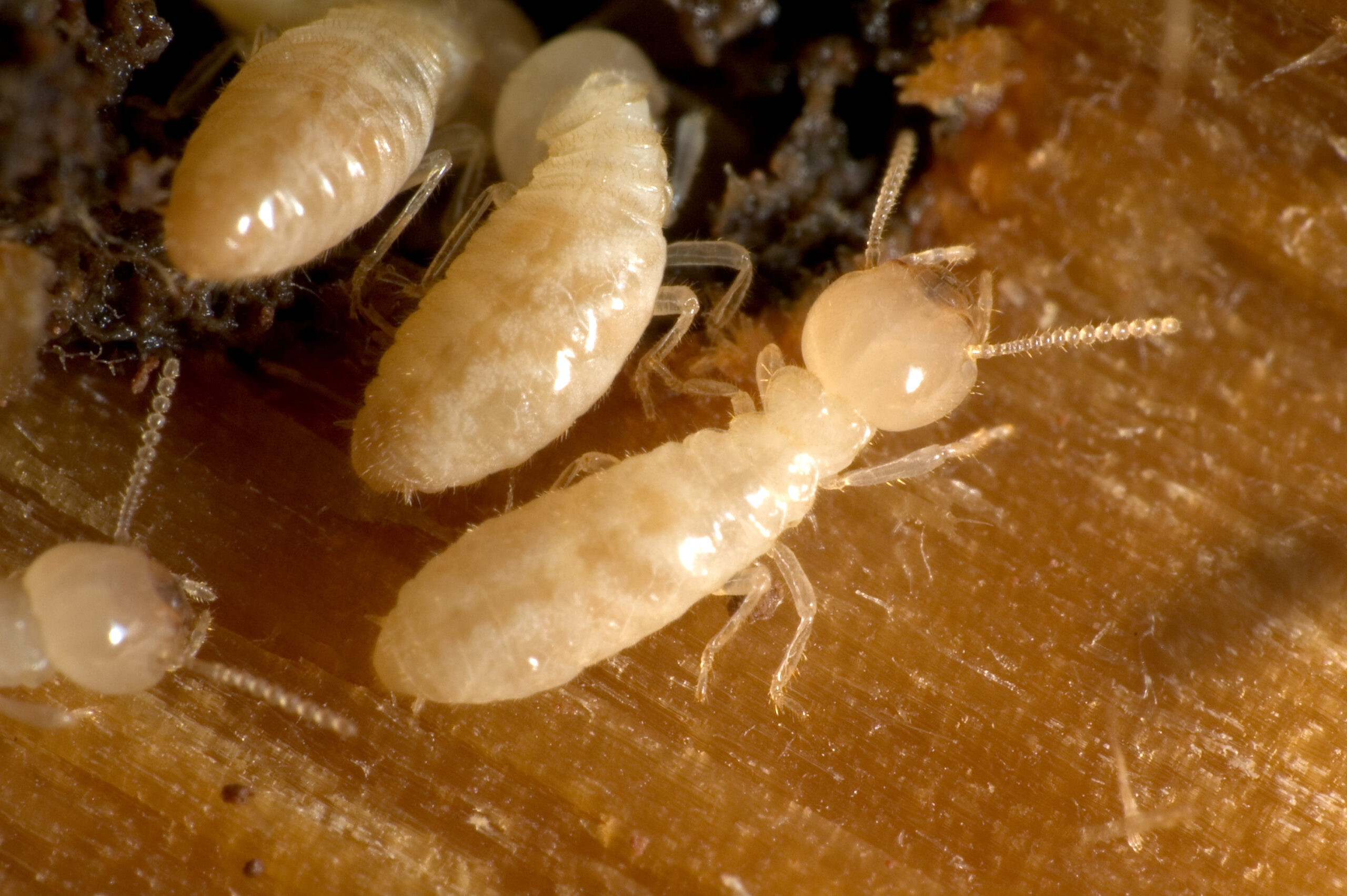 Cómo matar a las termitas de la madera seca
