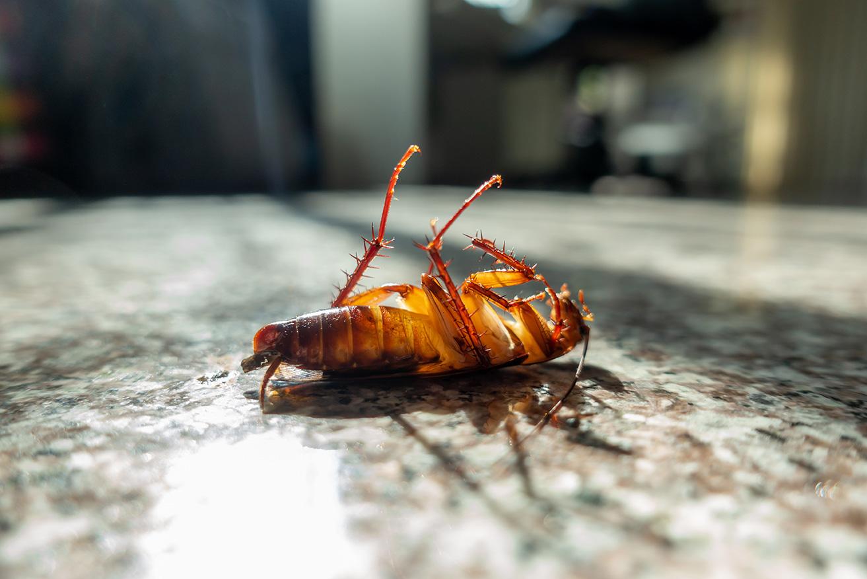 Eliminación de cucarachas: Formas efectivas de matar cucarachas