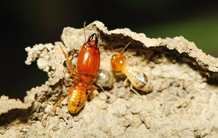 El mejor control de plagas de termitas