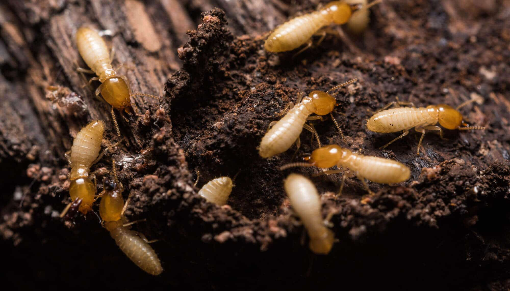 La eficacia de los cebos para termitas