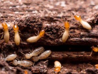 La importancia de una fianza contra las termitas
