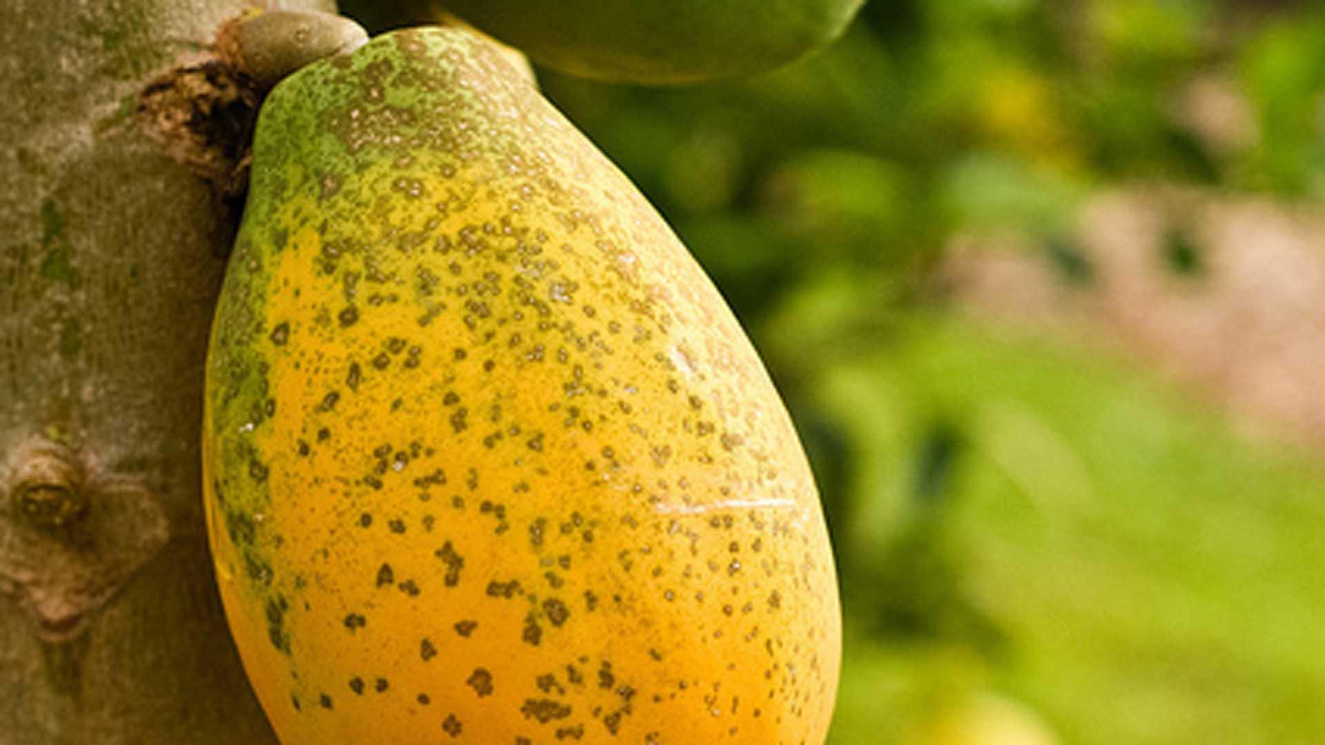 Principales plagas del papayo