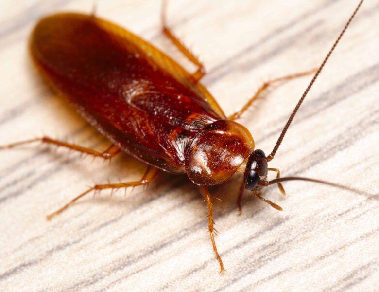 Las cucarachas y los problemas que traen en el hogar